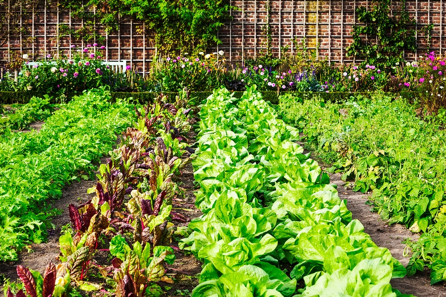 Vibrant vegetable garden with neatly tended rows